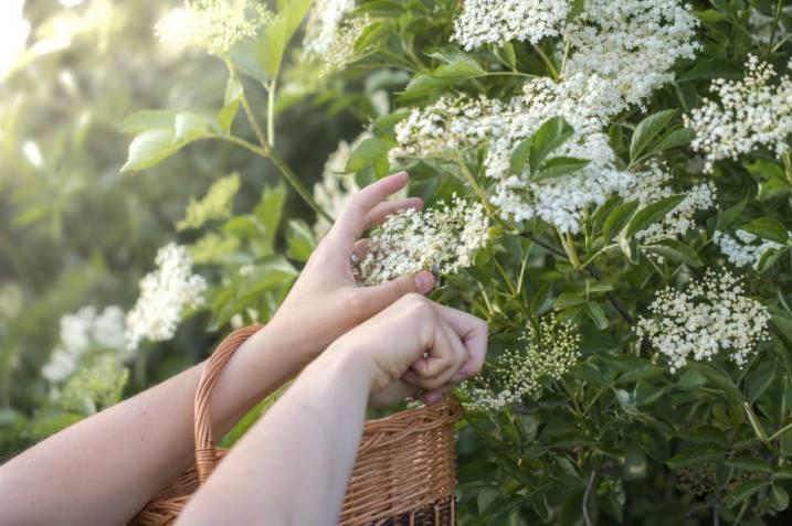 сбор цветов бузины