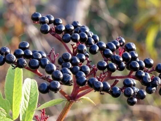 Сбор ягод бузины