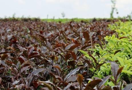 Кенийский чай происхождение