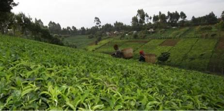 кусты кенийского чая
