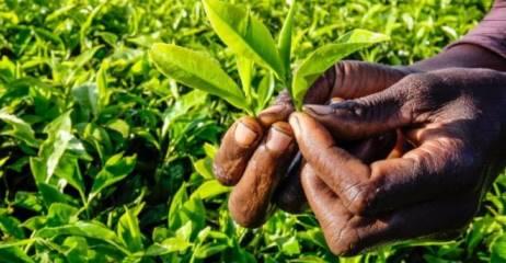 культивация кенийского чая