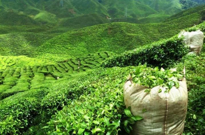 Все секреты Улун чая